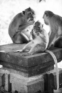 Sposarsi-o-non-sposarsi_famigliola-di-scimmie-a-Bali