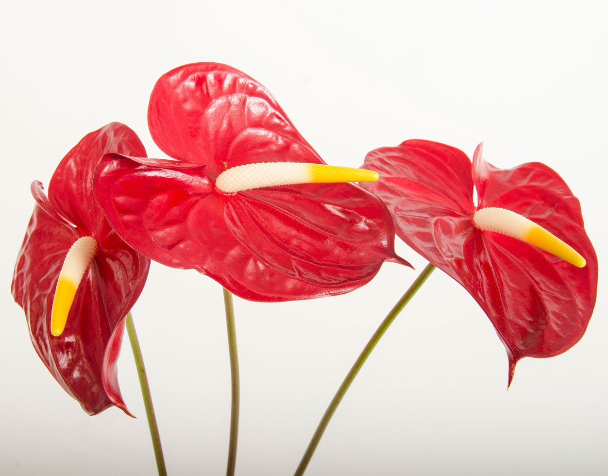 i fiori del bouquet anthurium - Daniele Panareo fotografo di matrimoni a Lecce e provincia