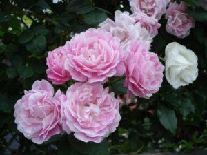 fiori per matrimonio rose rosa