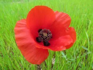fiori per matrimonio e papaveri rossi