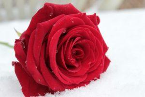 fiori per matrimonio rose
