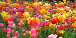 fiori per matrimonio tulipani variopinti